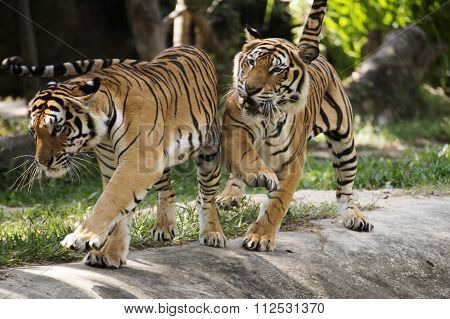 Two Bengal Tigers