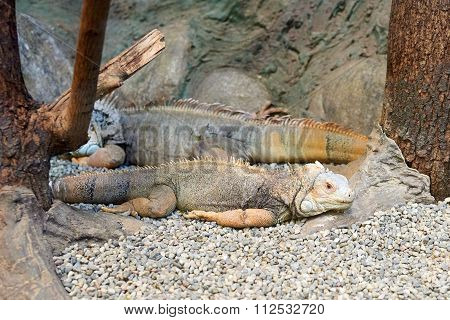 Closeup Of Two Iguanas.