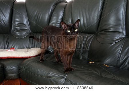 Portrait Burmese Cat