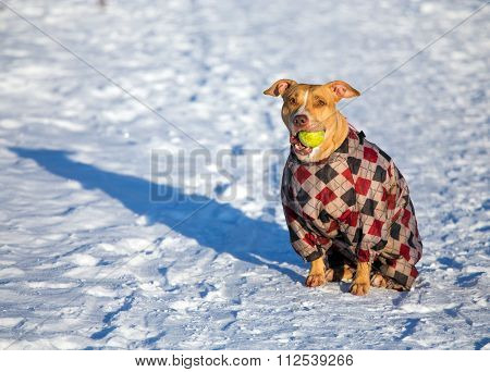 American Pit Bull Terrier Sitting In Snow With A Ball In Its Mouth