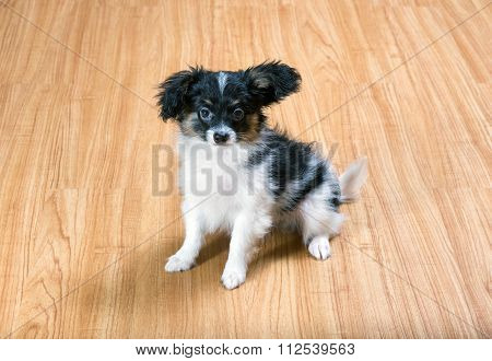 Puppy Papillon Sitting On The Floor