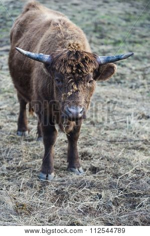 Head Of Cattle With Burrs On Its Face