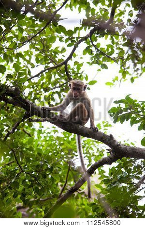 Young Toque Macaque Monkey