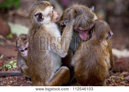 Toque Monkeys Family In Natural Habitats