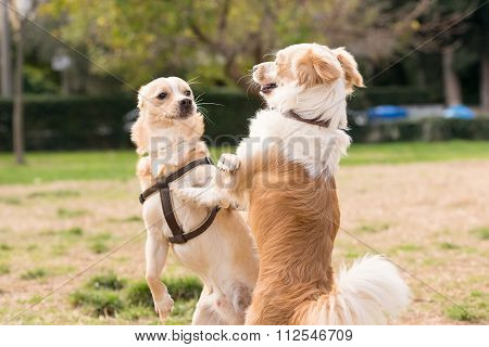 Two mini dogs against each other. A beautiful moment of playing in a park.