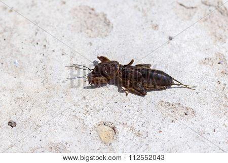 Gryllotalpidae