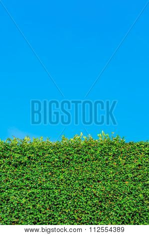 Vine-Covered Wall and Blue Sky