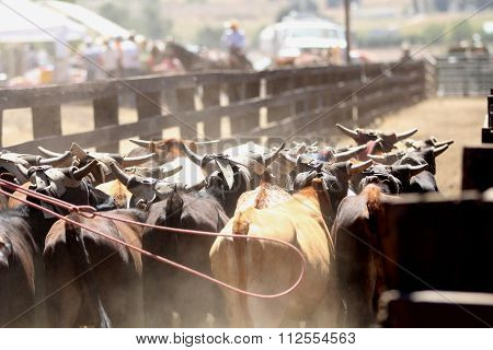 Herding cattle at a rodeo.