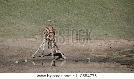 Drinking Giraffe In A Safari Park