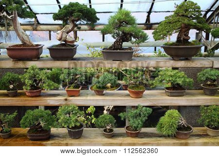 Different kinds of bonsai in pots on the shelves in the greenhouse
