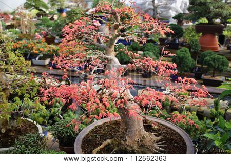 Red maple bonsai thick trunk in a pot