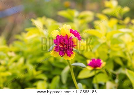 Lovely Mini Pink And Yellow Flower Sun Plant Or Pursley