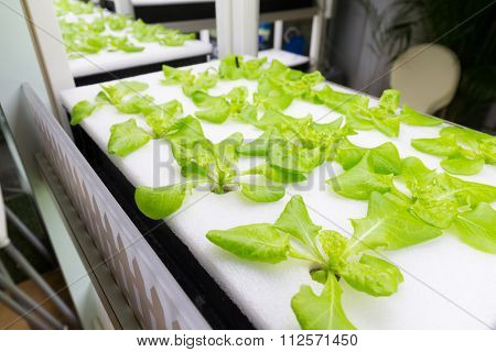 Small Plants growing in Hydroponic culture
