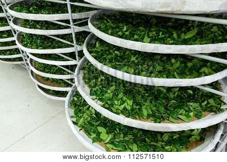 The fermentation of tea in factory
