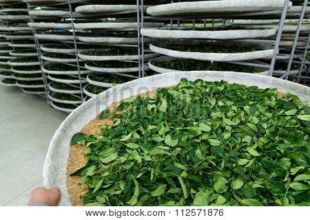 Fermentation racks of tea