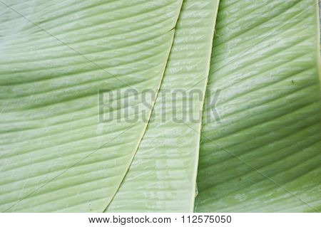 green banana leaves texture background