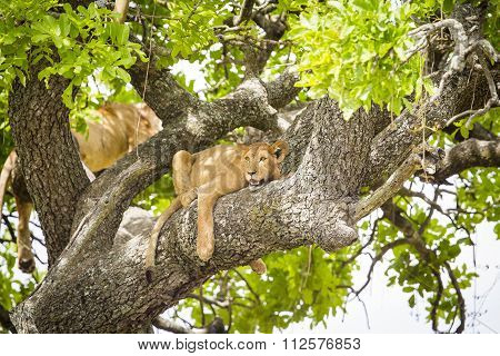 African lion rests in a tree really hot day