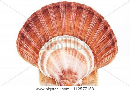 Range Of Seashell Of  Molluscs Isolated On White Background