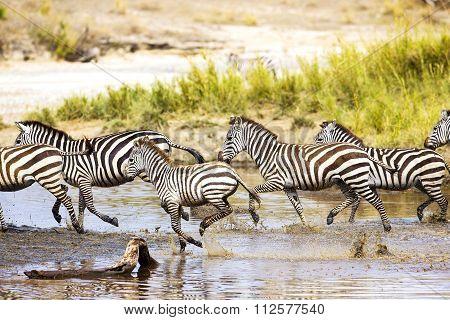 Zebras runs in the water