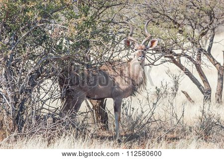 Greater Kudu Bull