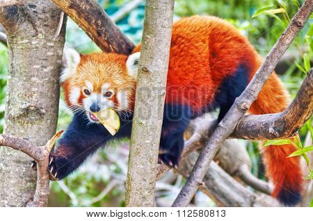 Red Panda In Its Natural Habitat Of The Wild.