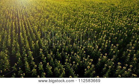 Aerial View Of Beautiful Blooming Sunflowers Field With Morning Light