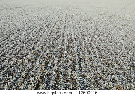 Field Of Winter Wheat