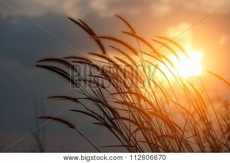 Pennisetum Flower In Sunlight