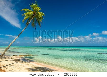 Coconut tree in a beach in Tikehau