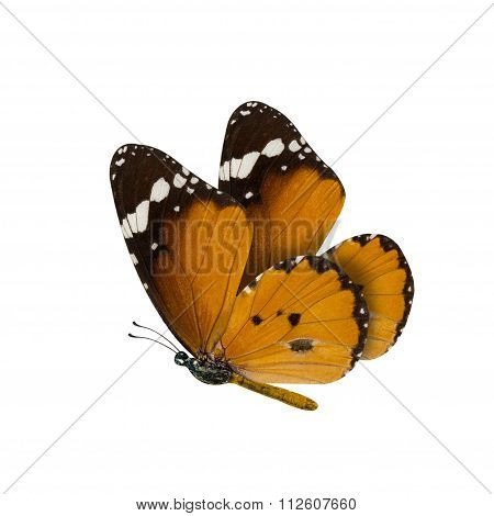 Common Tiger Butterfly , Danaus Genutia , Monarch Butterfly