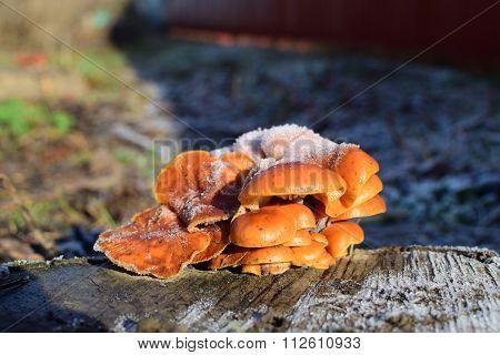 Orange Mushrooms On A Stub