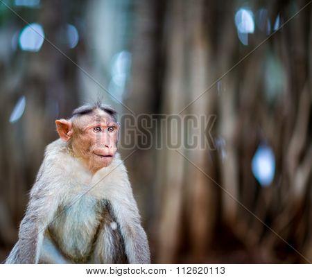 Bonnet Macaque in the Banyan Tree Garden near Bangalore India.