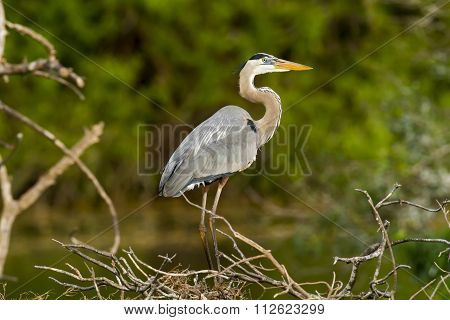 Great Blue Heron Scans Surroundings