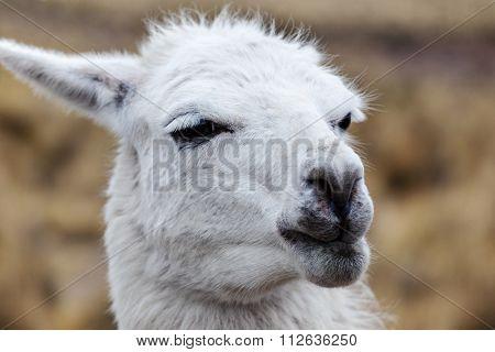 portrait of a white lama close-up