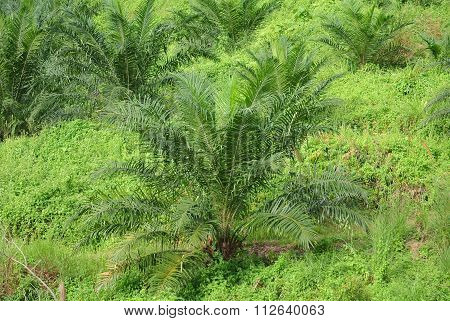 Palm oil trees in palm oil plantation estate
