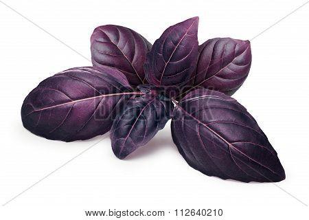 Purple Basil Isolated