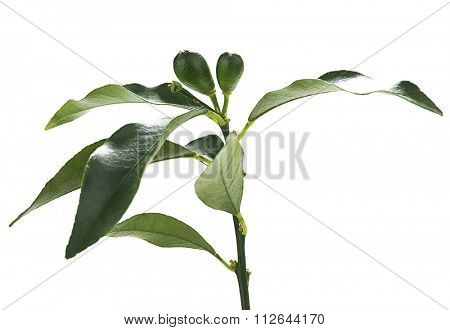 Lemon bough isolated on white background.