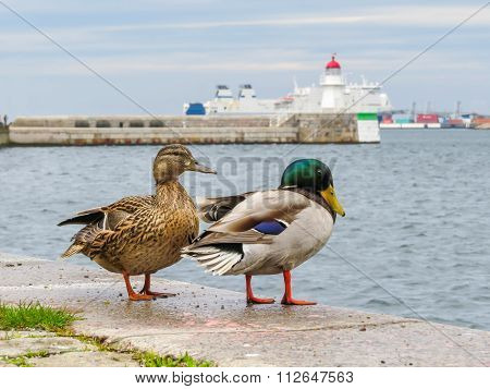 Pair of mallard ducks in Malmo