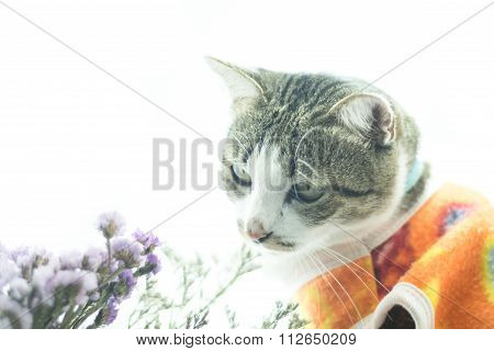 Cute Siamese Cat In The Clothes On White Background