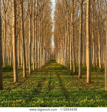 Poplars In The Forest