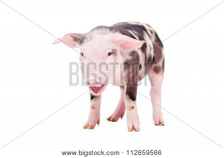 Grunt little pig