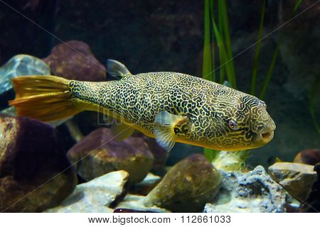 Mbu Pufferfish (tetraodon Mbu)