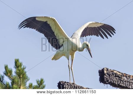 Young white stork