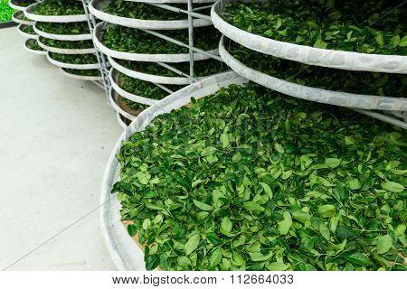 Fermentation racks of tea in factory