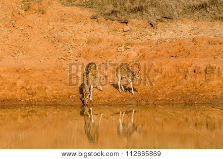 Spotted Deer at water hole