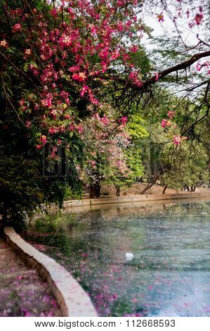Lake and tree with pink flowers, Lodhi garden India