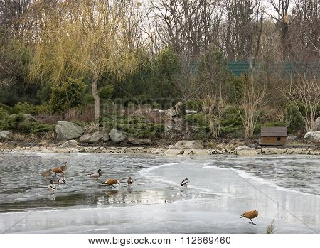 Park In Winter And Ducks