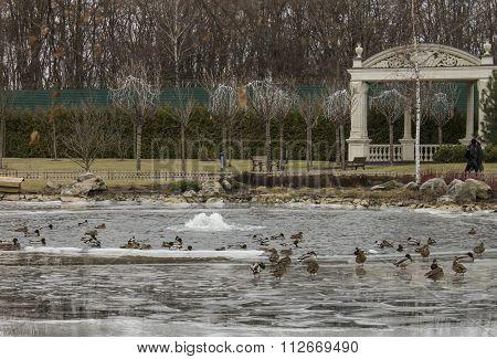 Park In Winter And Ducks, Uraine