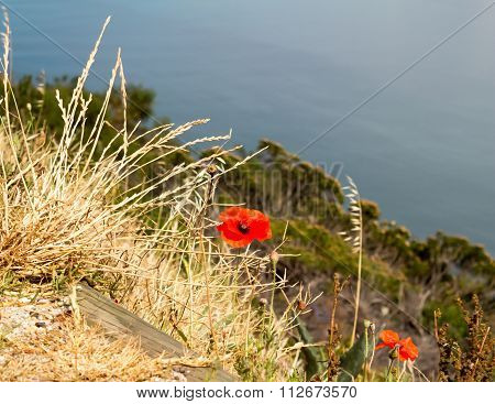 Red Poppies In Wild grass