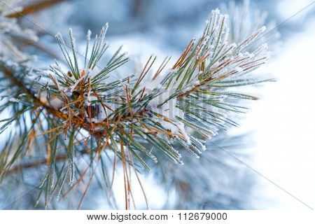 Pine Branches In The Snow Closeup